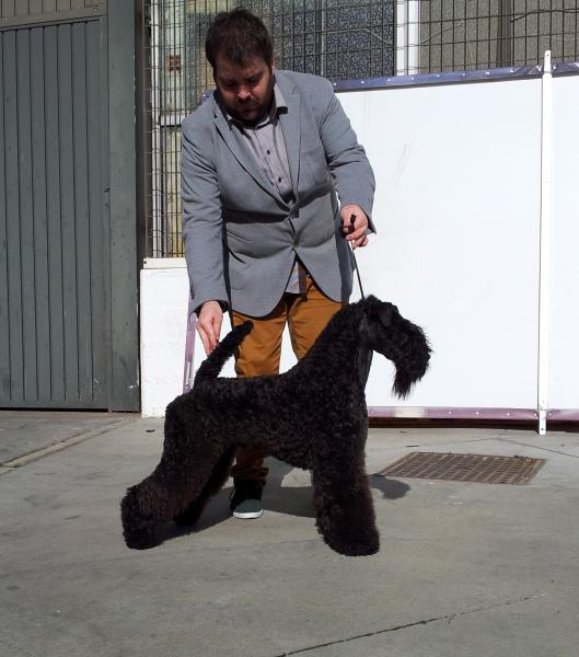 Kerry Blue Terrier. Bluemont Ariel at Clanciarrai.