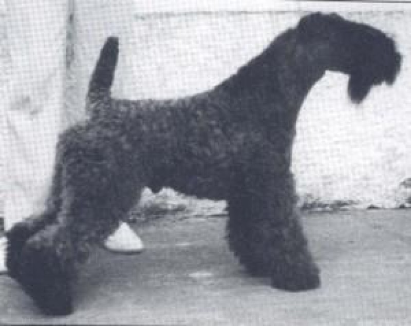 Kerry Blue Terrier. Ch. Louisburgh Ballycroy .