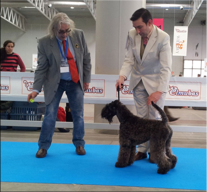 Kerry Blue Terrier. Ch. La Cadiera Dandy.