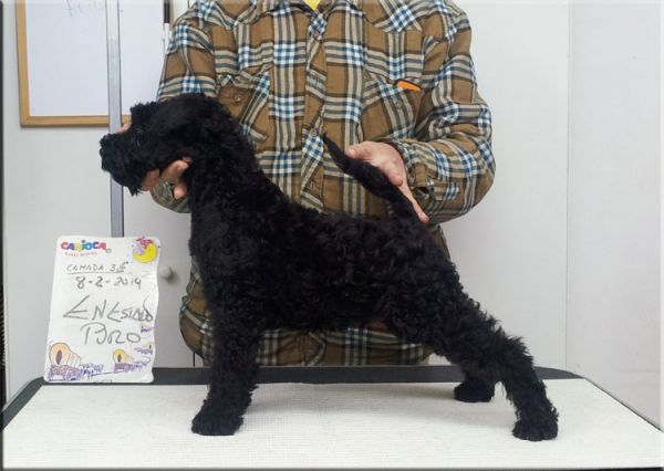 Kerry Blue Terrier. La Cadiera En Estado Puro.