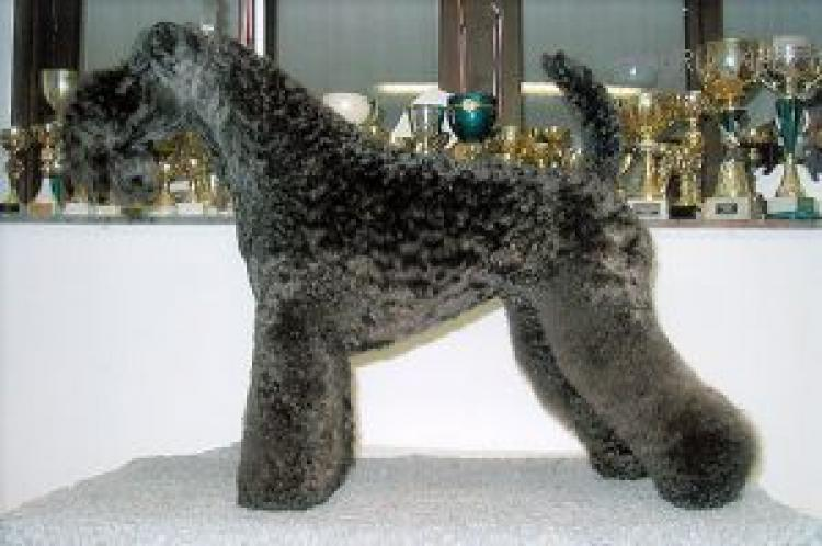Dandy Black & Blue Can Can. Kerry Blue Terrier. Dandy Black   Blue Can Can.