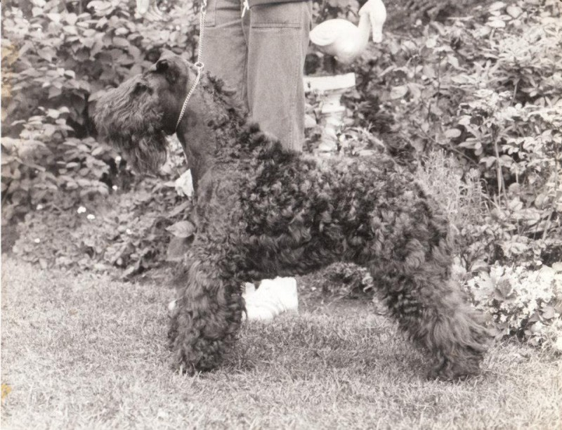 Kerry Blue Terrier. Ch. Louisburgh Bohola.