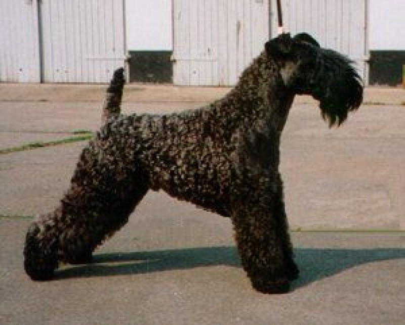 Ch. Louisburgh See An´Notice. Kerry Blue Terrier. Ch. Louisburgh See An