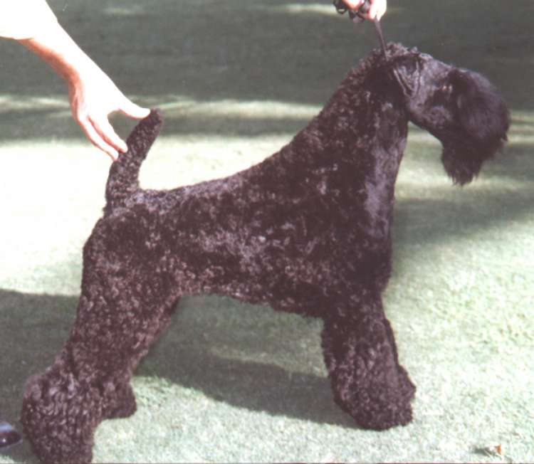 Kerry Blue Terrier.  Ch. Armshead Leader of the Pack.