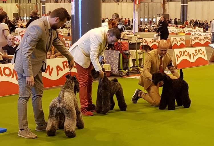 Kerry Blue Terrier. Northbound Hymn To La Cadiera. Exc. 1ª C.A.C. C.A.C.I.B. B.O.S..