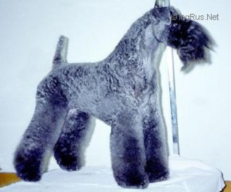 Kerry Blue Terrier. Bubsy Blue Beauty.