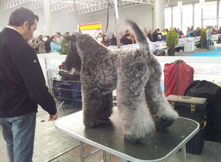 Kerry Blue Terrier.  Ch. Corben Dallas de La Cadiera.