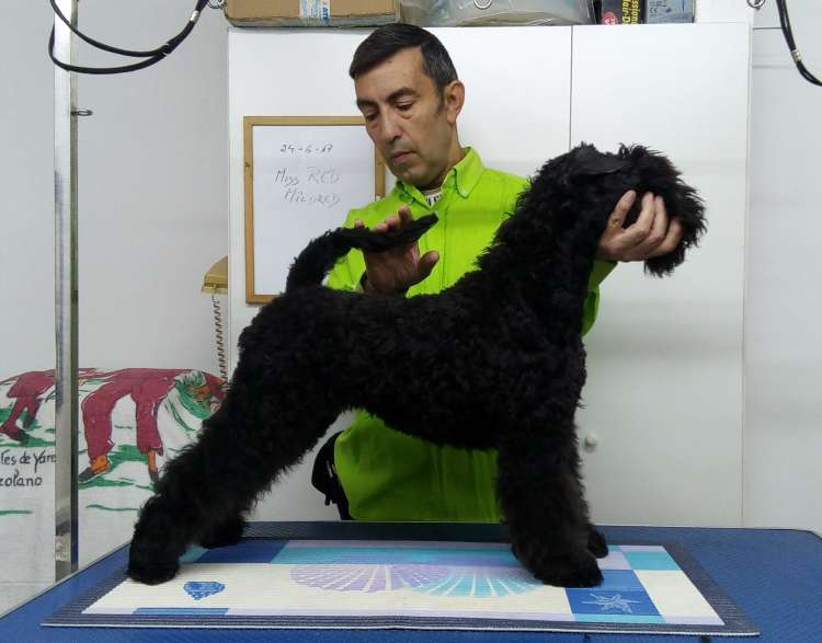 Kerry Blue Terrier. Northbound Hymn To La Cadiera.