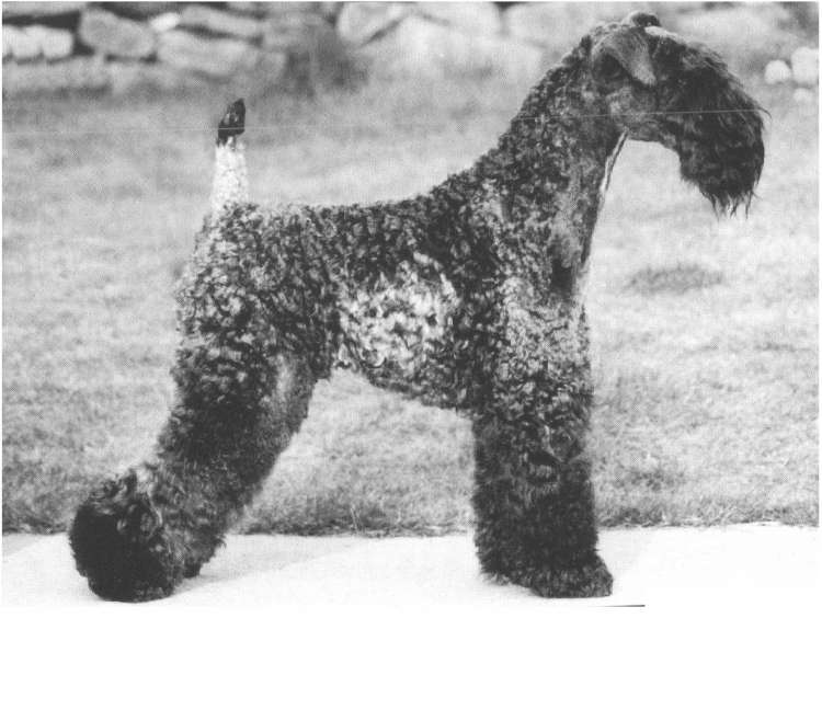 Kerry Blue Terrier.  Ch. Louisburgh Giro At Rismont.