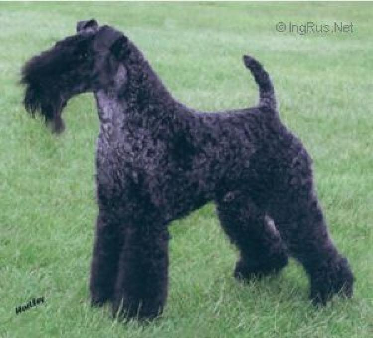 Kerry Blue Terrier. Torums Tunde Bayou.