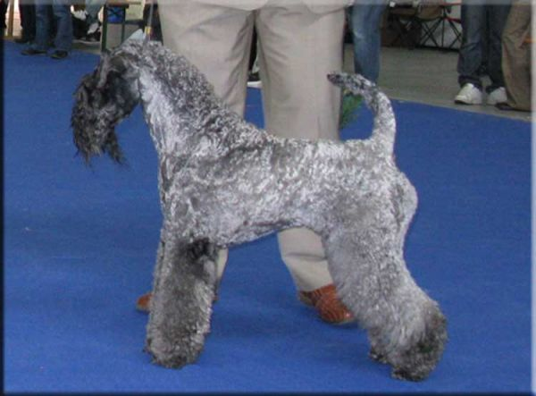 Kerry Blue Terrier. Ch. KerrydomCourt Justine for La Cadiera.