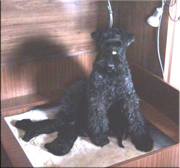 Kerry Blue Terrier. Camada 2X.