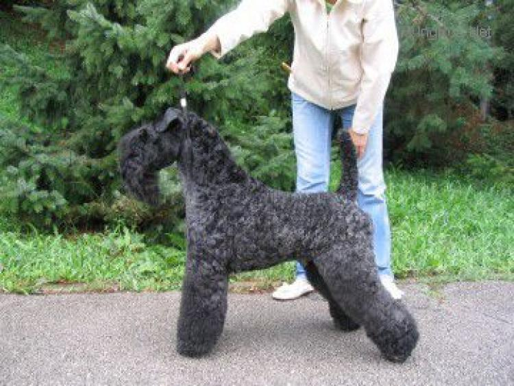 Kerry Blue Terrier.  Ch. Torum´s Smokey Chisholm.