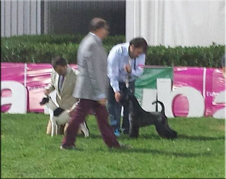 Kerry Blue Terrier. Ch. Bluemont Analivia Purabella at La Cadiera. Ch. Portugal, Ch. Spain, Lisbon Winner 2014.