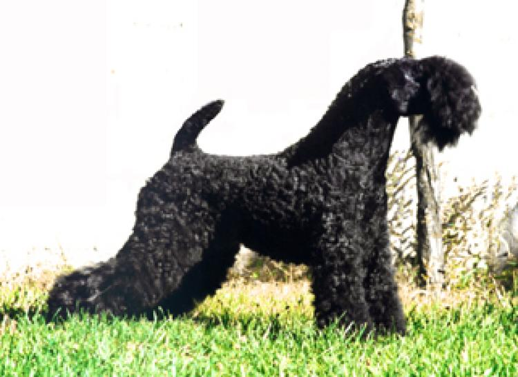 Kerry Blue Terrier.  Ch. Arigna Anu at La Cadiera.
