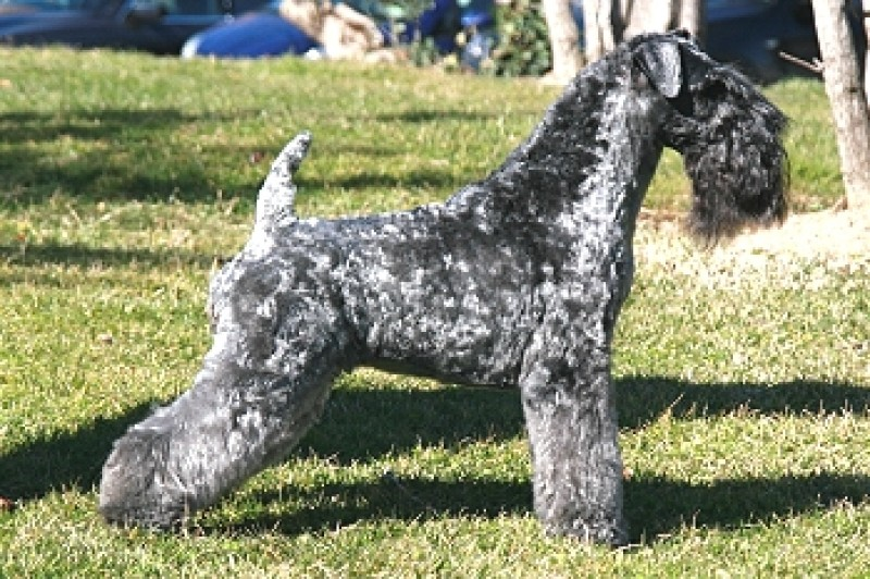 Kerry Blue Terrier.  Ch. Chelines In Blue.