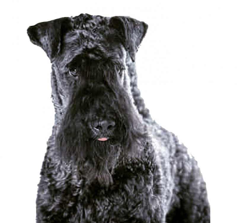 Kerry Blue Terrier. Multi Ch. La Cadiera Diamonds Are Forever.