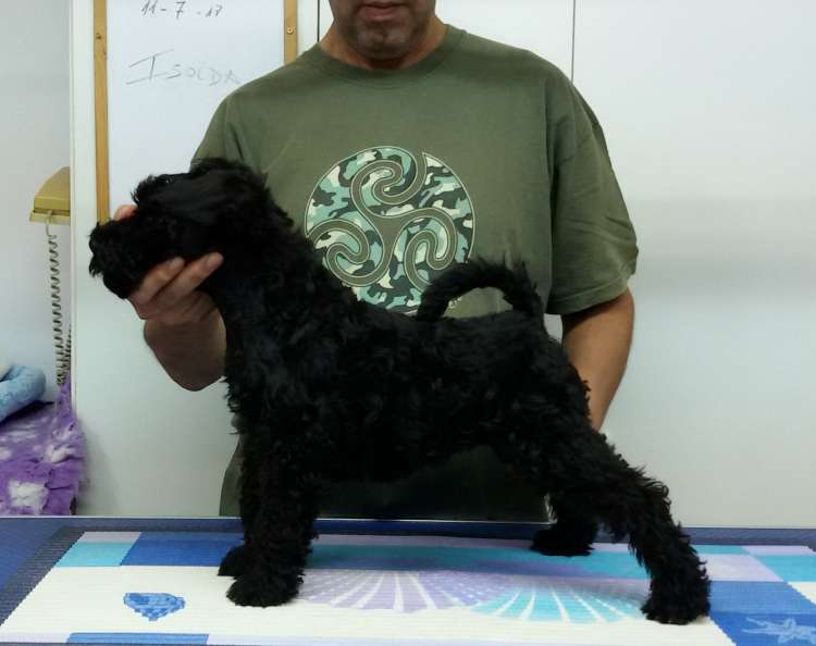 Kerry Blue Terrier. La Cadiera Isolda. 2 months old.
