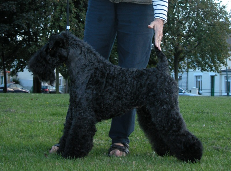 Arigna She´s Got It. Kerry Blue Terrier. Arigna Shes Got It