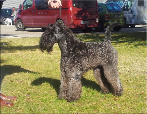 Kerry Blue Terrier. La Cadiera Dandy.