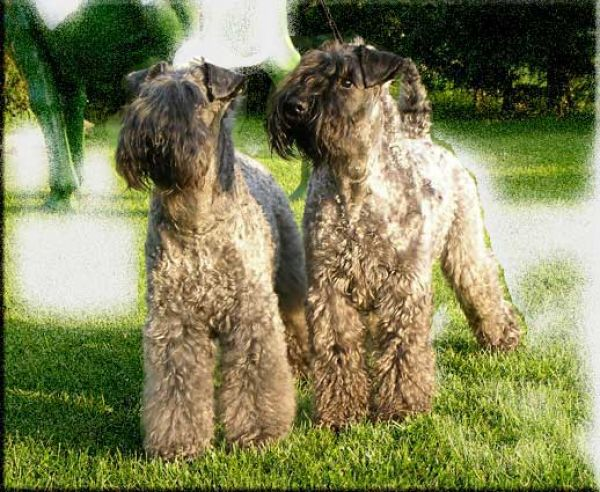 Kerry Blue Terrier. El Piri y Lur