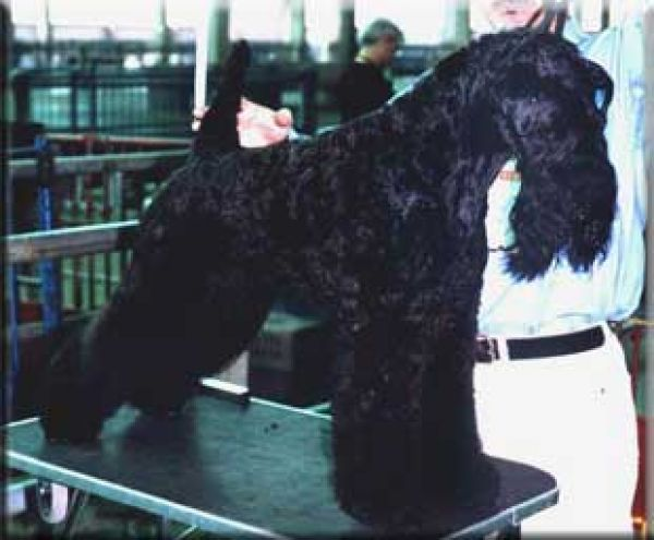 Kerry Blue Terrier. Unico de La Cadiera.