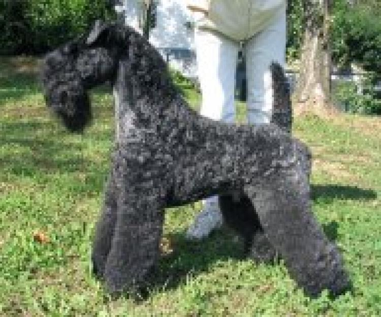 Kerry Blue Terrier.  Multi Ch. Torum´s Smokey Chisholm.