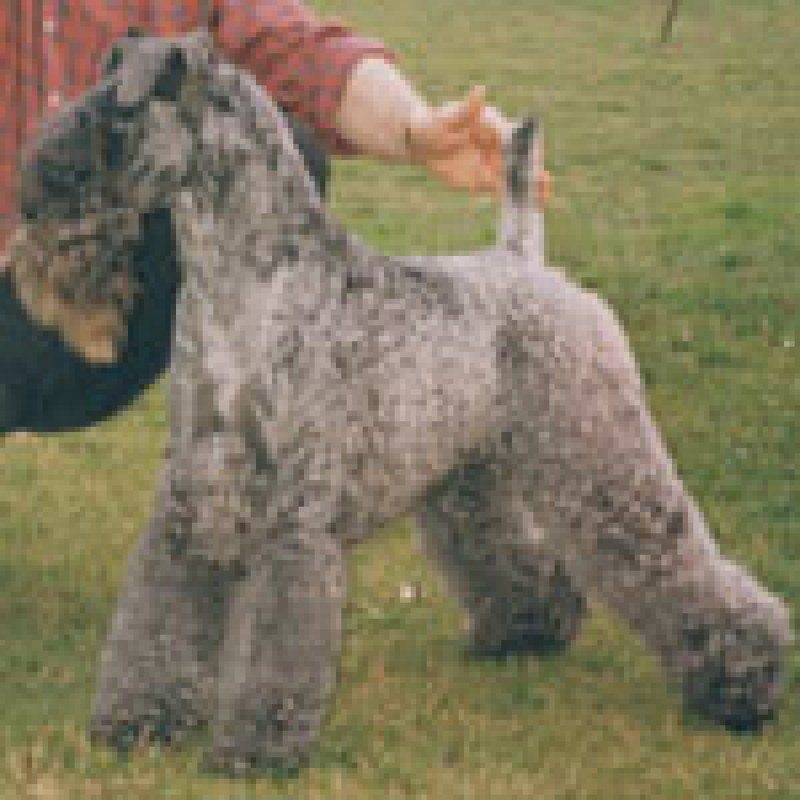Kerry Blue Terrier. Aran Enniskerry.