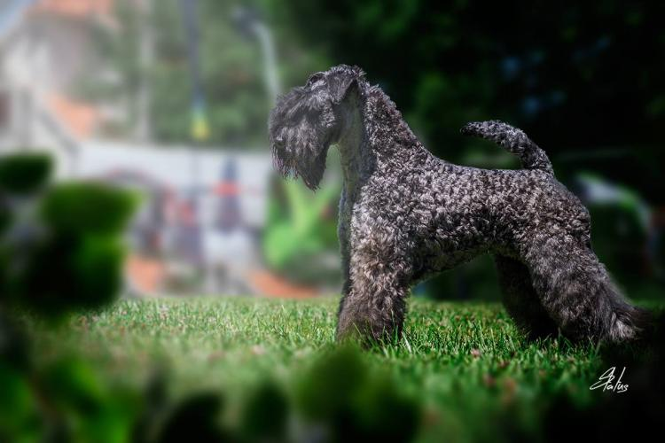 Kerry Blue Terrier.  Multi Ch. La Cadiera Geisha.