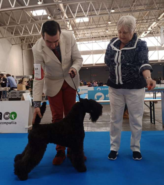 Kerry Blue Terrier. La Cadiera Made In Heaven. Exc. 1º CAC BOB.