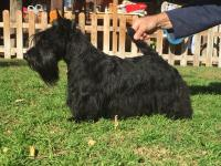 Scottish Terrier. MINNIE DE TREYSAS.