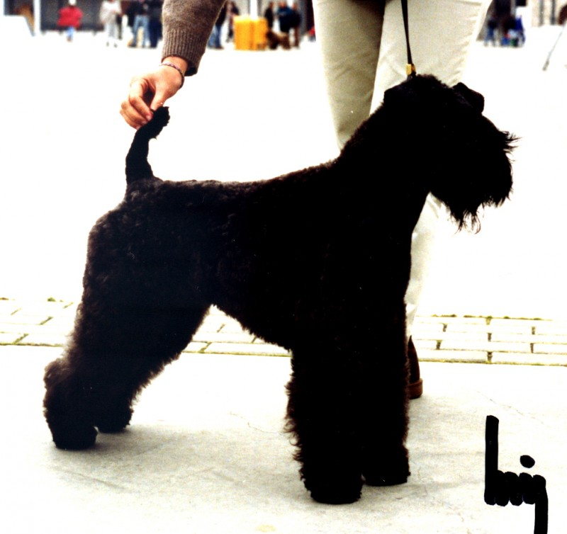 Kerry Blue Terrier.  Ch. Chelines Blue Danube.