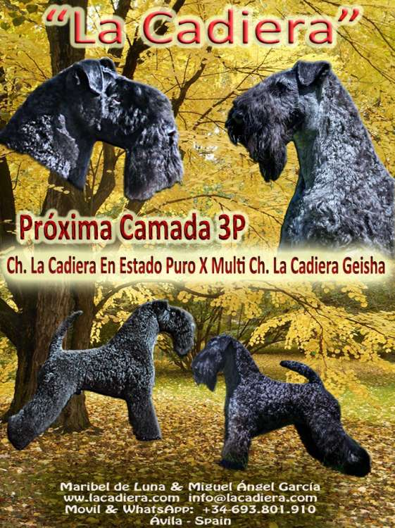 Kerry Blue Terrier. Camada 3P.