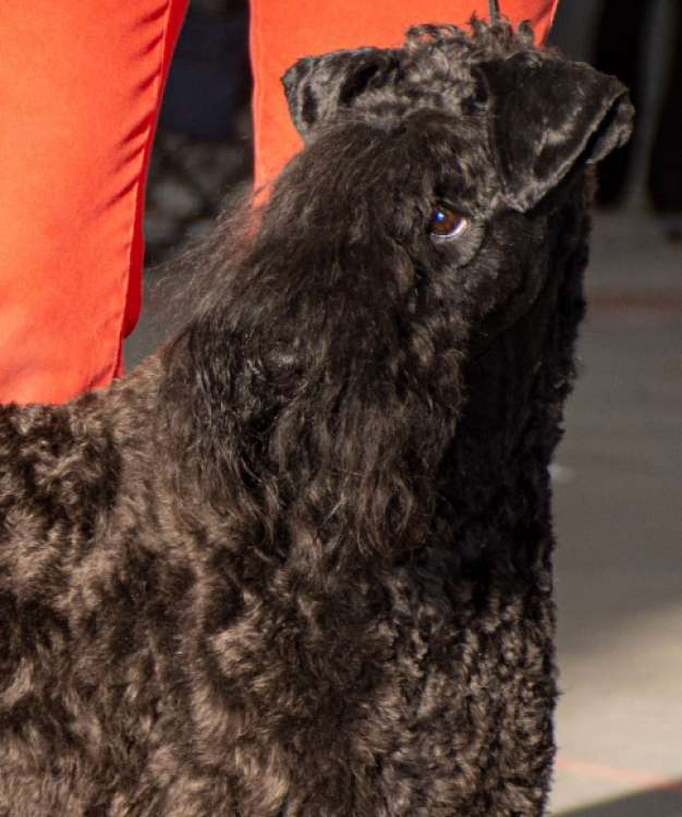Kerry Blue Terrier. Cabeza de La Cadiera Made In Heaven.