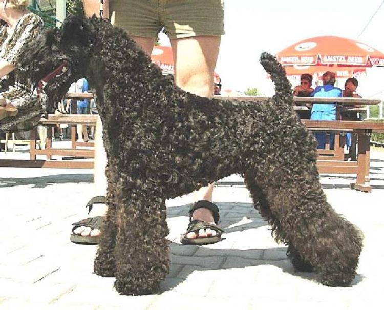 Kerry Blue Terrier.  Ch. Kerrydom Court Dhaulagiri At Edbrios.