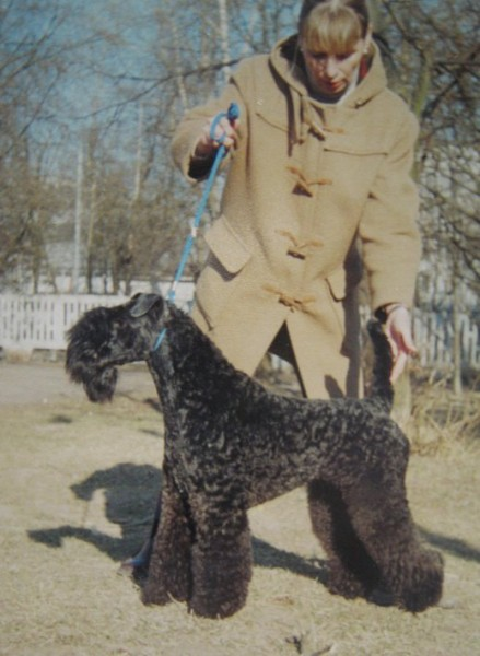 Ch. Dandy Black & Blue Maestro. Kerry Blue Terrier. Ch. Dandy Black   Blue Maestro.