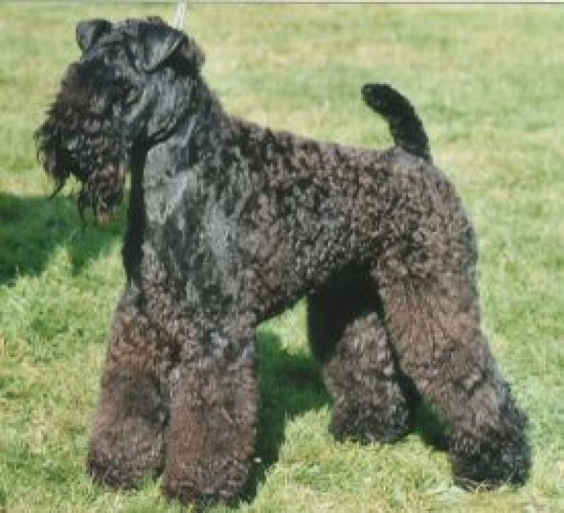 Kerry Blue Terrier. Ch. Lescariot Gorgious George.