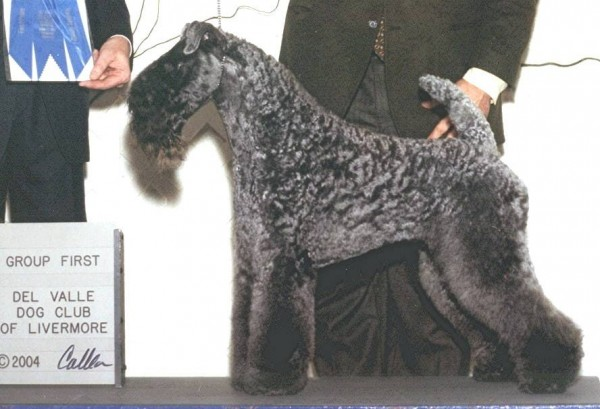 Kerry Blue Terrier. Ch. Aran Ferbane.