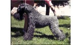 Kerry Blue Terrier. Baila Princesa de Chapeau Terrier at La Cadiera.