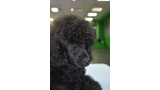 Black Dominanta Grand Prix. Caniche. Black Dominanta Gran Prix. 2 meses y medio.