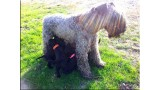 Kerry Blue Terrier. Camada 2Z.