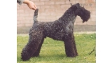Kerry Blue Terrier. Ch. Arranshire Pioneer.