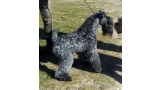 Kerry Blue Terrier. Multi Ch. Corben Dallas de La Cadiera.