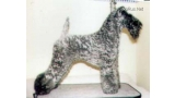 Kerry Blue Terrier.  Ch. Glenfitor Clodagh At Edbrios.