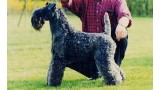 Kerry Blue Terrier. Aran Enniskeen.