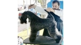 Kerry Blue Terrier. Saraoz Kill Bill.