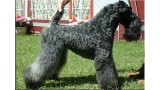 Kerry Blue Terrier. Ch. Multi BISs Scarlett O