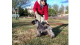 Kerry Blue Terrier. Ekstrim Show Norway de La Cadiera.