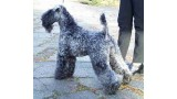 Kerry Blue Terrier.  Ch. Louisburgh Gadhair Gorm.