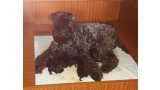 Kerry Blue Terrier. Camada 3i con 24 horas.